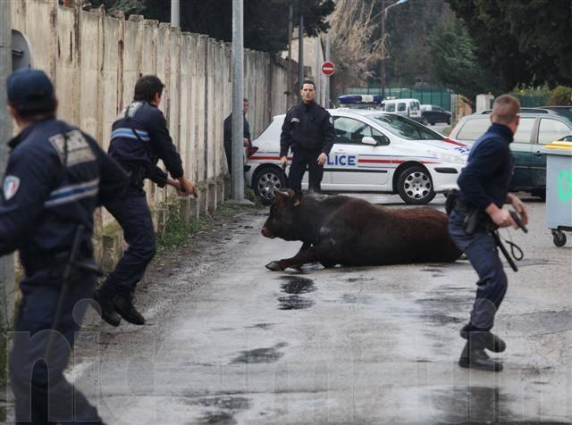 un taureau abattu par la police en pleine ville detail1 videos de police com vid os et. Black Bedroom Furniture Sets. Home Design Ideas